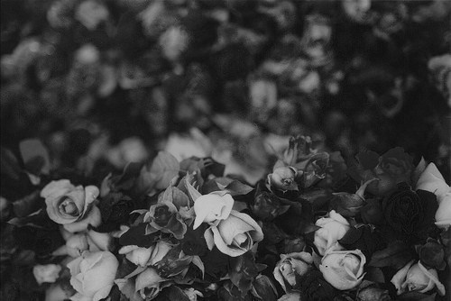 b&w, beautiful, black & white, black and white, cute, flower, flowers, nature, photo, photography, roses