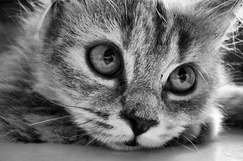 beautiful, black and white, cat