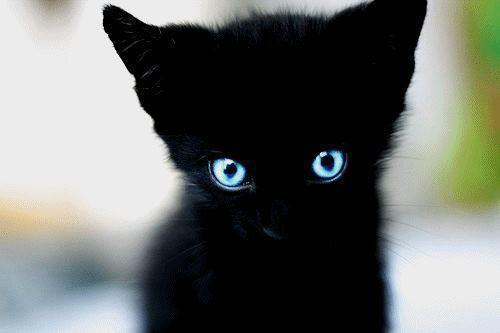 A beautiful black kitten with a sweet cougar c amp i 5