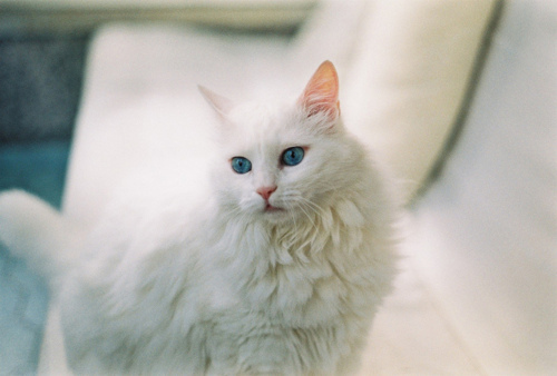 beautiful, blue, cat, cute, love, photo, photography, pretty, vintage, white