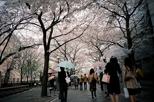 beautiful, cherry blossom, flower, japan, korea, people, pink, rain, street, tree