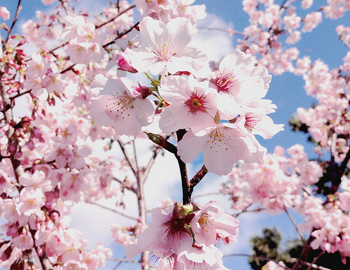 cherry blossoms, floral, flower, japan, japanese
