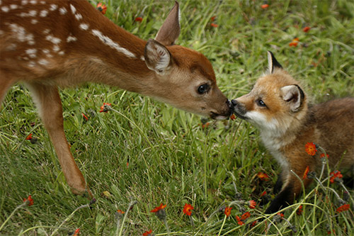 cute, deer, fox cub, photography