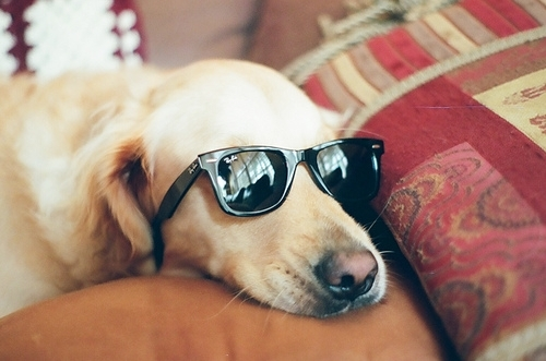 cute, dog, lazy, ray ban, sunglasses