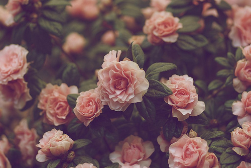 cute, flowers, flowers pink roses, photography, pink
