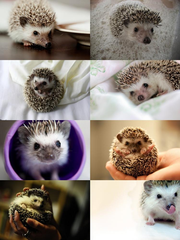 cute, hedgehog, love, photography