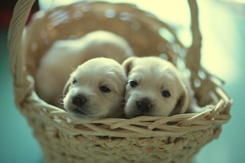 cute, little, puppies
